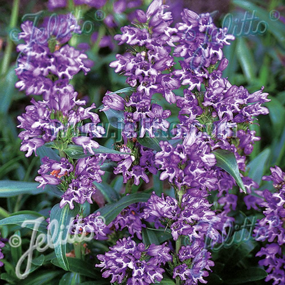 Plantes vivaces penstemon virgatus 39 blue buckle 39 galane for Vente plantes vivaces