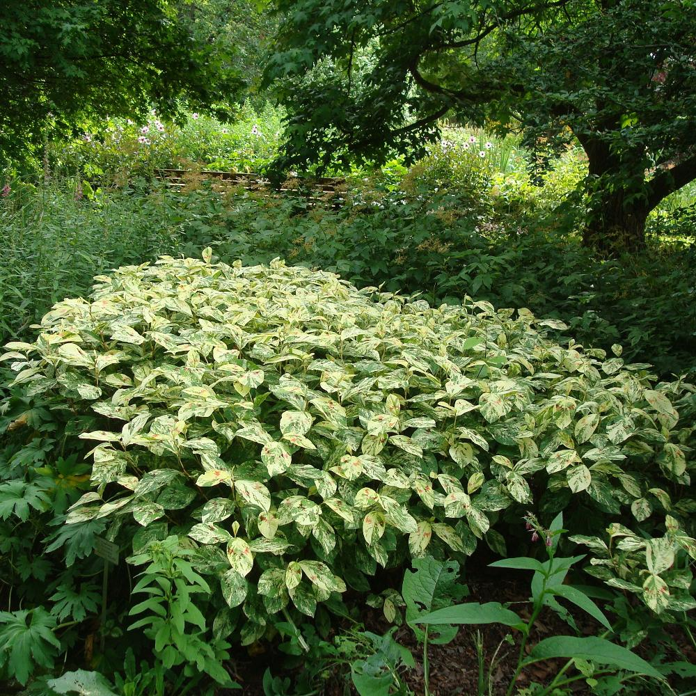 Plantes vivaces persicaria filiformis 39 painter 39 s palette for Vente plantes vivaces