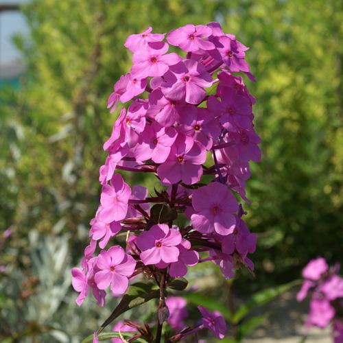Plantes vivaces phlox 39 alpha 39 maculata group phlox en vente p pini re lepage - Phlox vivace couvre sol ...