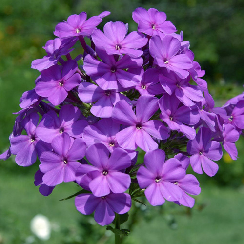 Plantes vivaces phlox 39 amethyst 39 paniculata group - Phlox vivace couvre sol ...