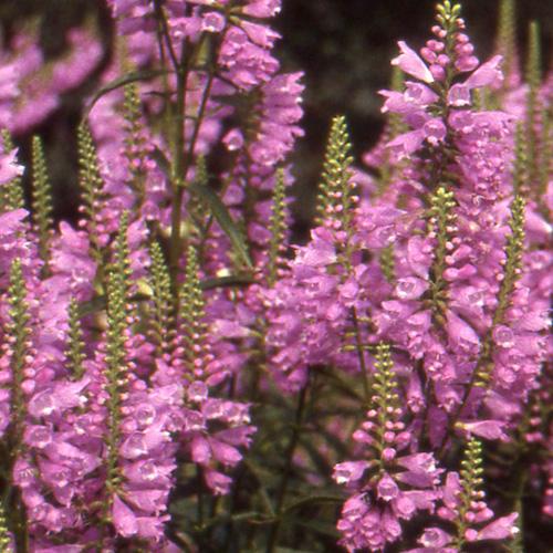 plantes vivaces physostegia virginiana bouquet rose
