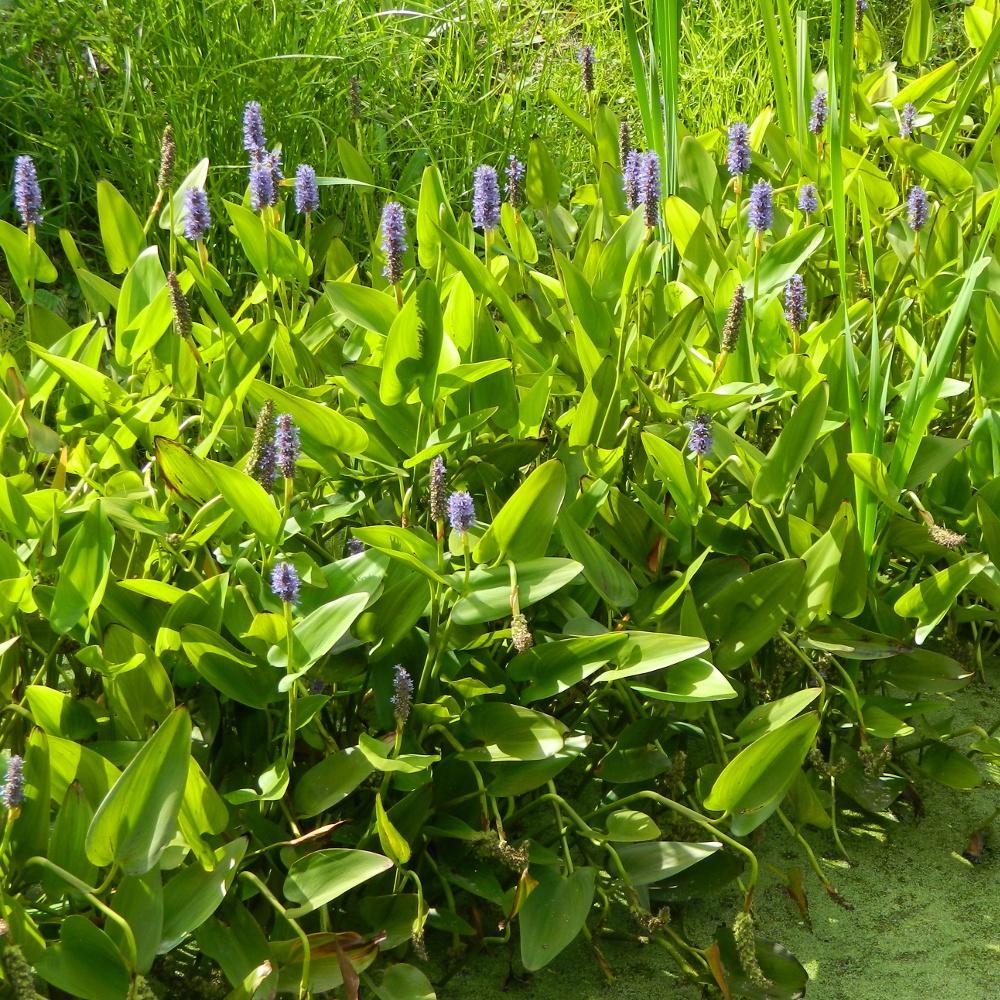 Plantes vivaces pontederia cordata pont d rie feuilles for Vente plantes vivaces