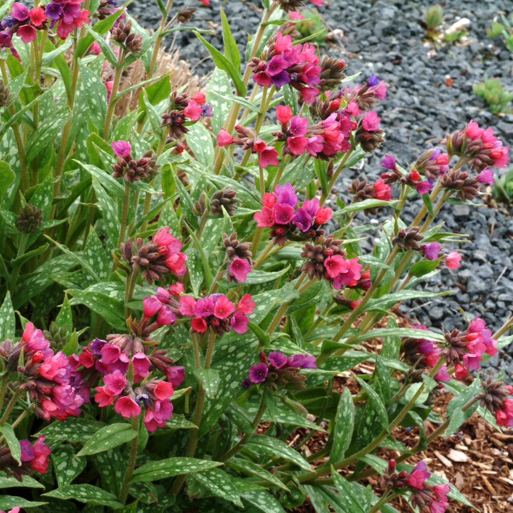 Plantes vivaces pulmonaria 39 raspberry splash for Vente plantes vivaces