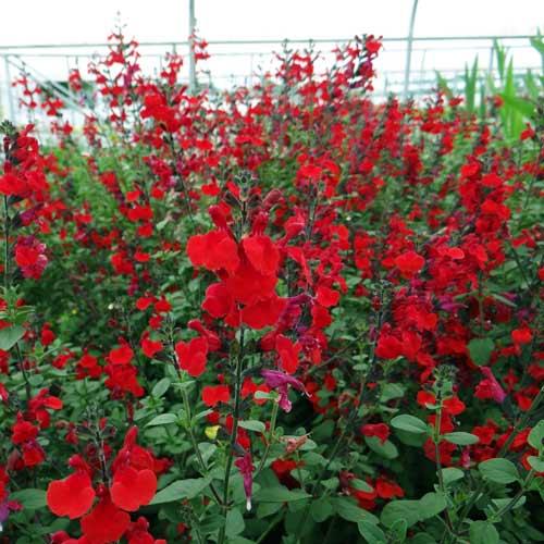 Plantes vivaces salvia 39 royal bumble 39 sauge en vente p pini re lepage - Planter de la sauge ...
