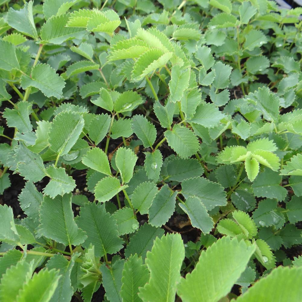Plantes vivaces sanguisorba tenuifolia var alba for Vente plantes vivaces