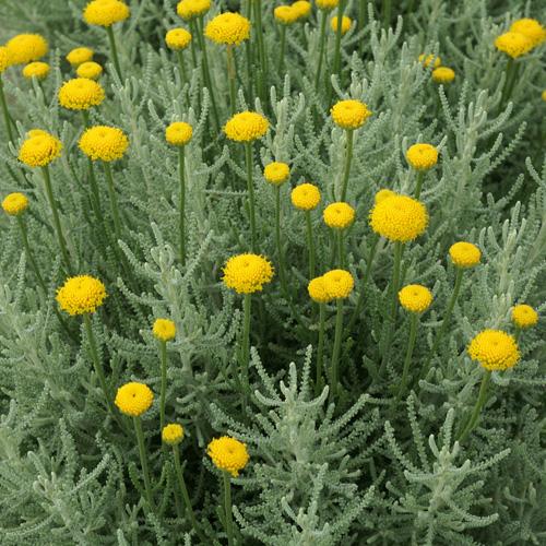 Euphorbia - SOL