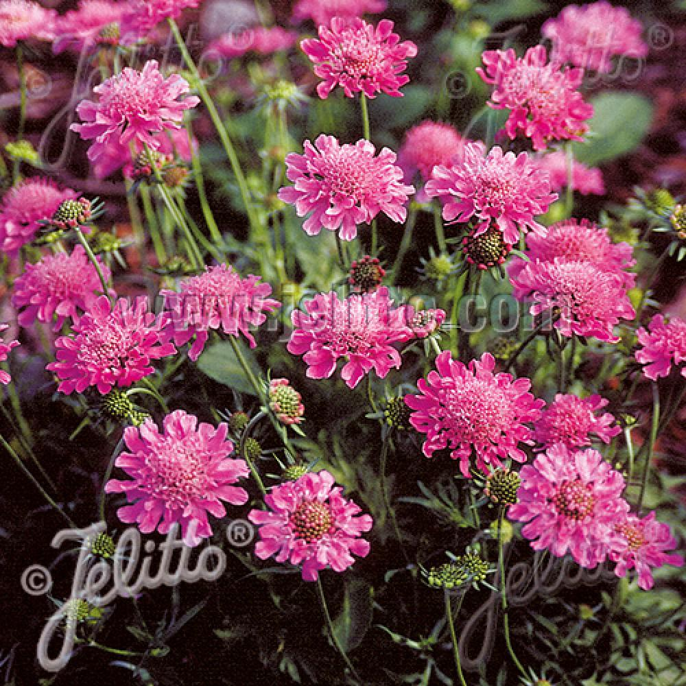 Plantes vivaces scabiosa columbaria 39 pincushion pink for Vente plantes vivaces