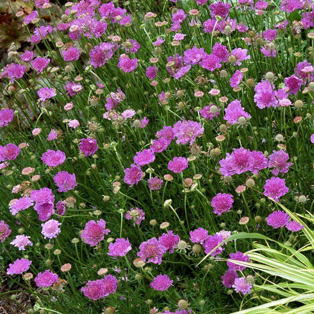 Plantes vivaces scabiosa 39 vivid violet 39 scabieuse en for Vente plantes vivaces