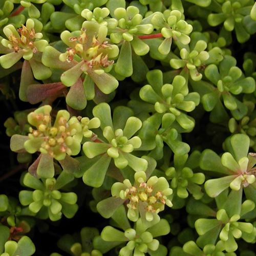 Plantes vivaces sedum oreganum s dum orpin en vente for Vente plantes vivaces