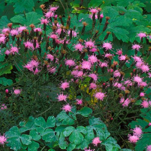 Plantes vivaces serratula seoanei en vente p pini re for Vente plantes vivaces