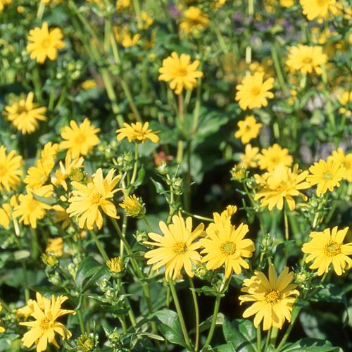 Plantes vivaces silphium perfoliatum silphe en vente for Vente plantes vivaces
