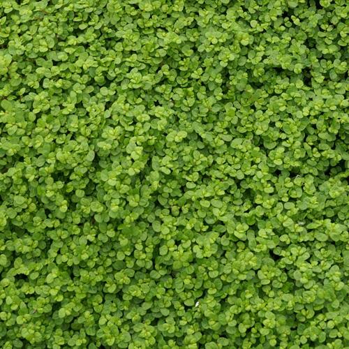 plantes vivaces soleirolia soleirolii helxine en vente