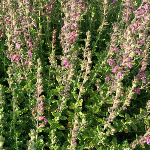 Plantes vivaces teucrium lucidrys germandr e en vente for Vente plantes vivaces