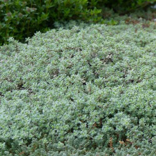 Plantes vivaces thymus ciliatus thym cili en vente p pini re lepage - Plante couvre sol sans entretien ...