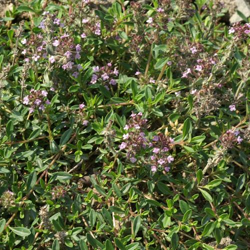 Plantes vivaces thymus polytrichus thym en vente for Vente plantes vivaces
