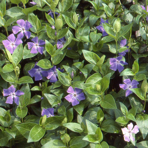 Plantes vivaces vinca major grande pervenche en vente for Vinca major