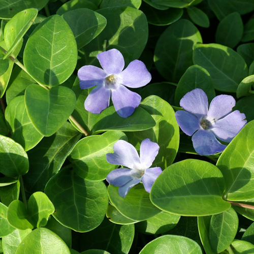 VINCA minor 'Gr�ner Teppich'