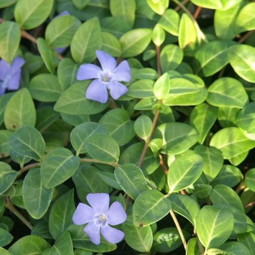 Plantes vivaces vinca minor 39 la grave 39 39 bowles variety for Cuidados de la vinca