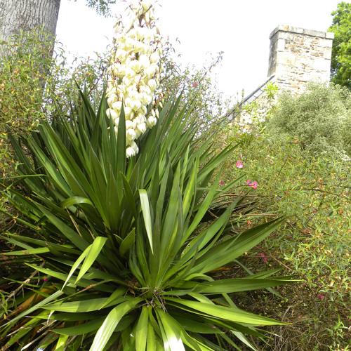 Plantes vivaces yucca filamentosa en vente p pini re for Plante yucca