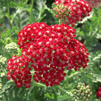 ACHILLEA millefolium 'Braise'
