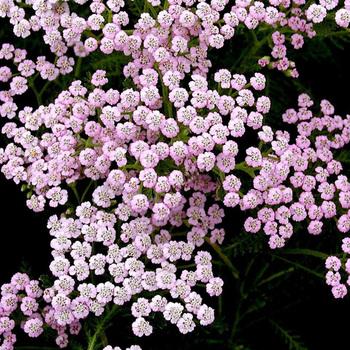 ACHILLEA millefolium 'Lilac Beauty'
