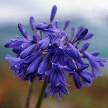 AGAPANTHUS 'Cobalt Blue'