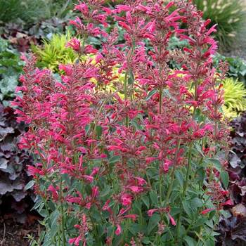 AGASTACHE 'Raspberry Summer' ®