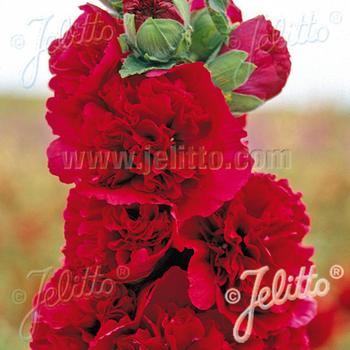 ALCEA rosea Chater's Double rouge