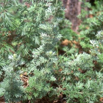 ARTEMISIA absinthium (Absinthe)