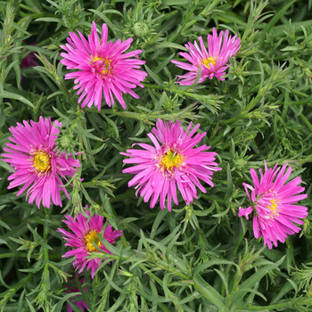 ASTER 'Alice Haslam' (Dumosus Group)