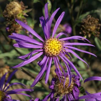 ASTER amellus 'Veilchenkönigin' ('Violet Queen')