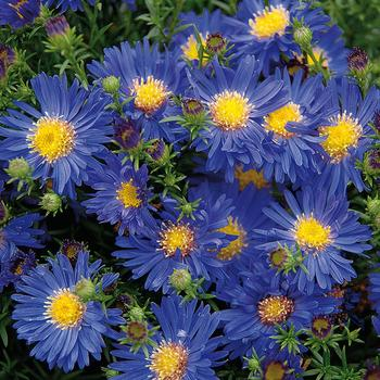 ASTER 'Blue Lapis' (Dumosus Group)