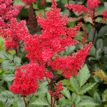 ASTILBE 'Montgomery' (Japonica Group)