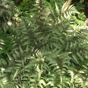 ATHYRIUM niponicum var pictum (Metallicum')