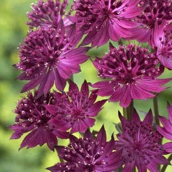 ASTRANTIA major 'Venice' ®
