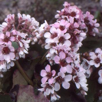 15 bergenia en vente plante des savetiers p pini re lepage for Vente plante verte
