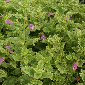 CALAMINTHA grandiflora 'Variegata'