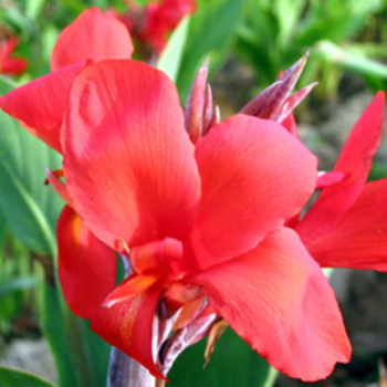 CANNA 'Red Cherry'