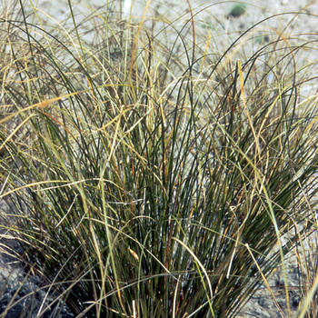 CAREX flagellifera 'Vert Olive'