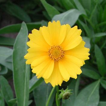 COREOPSIS grandiflora 'Badengold'