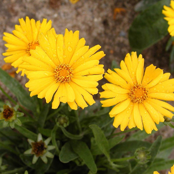 COREOPSIS grandiflora 'Sonnenkind'