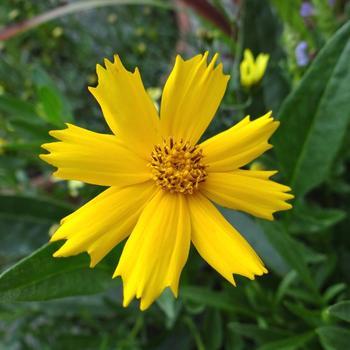 COREOPSIS lanceolata 'Launa'