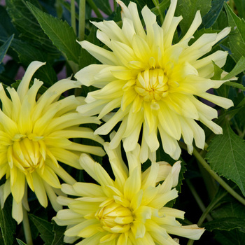 DAHLIA 'Arabesque'