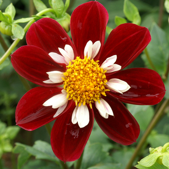 DAHLIA 'Mary Evelyn'