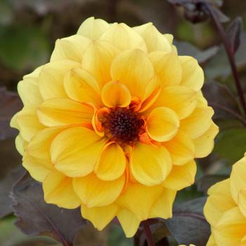 DAHLIA 'Orange Flora'
