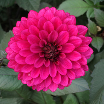 DAHLIA 'Purple Flame'®