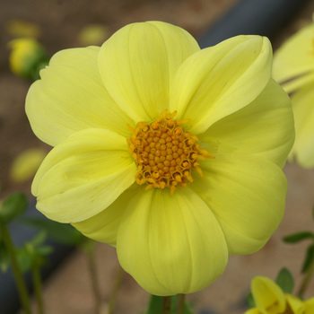 DAHLIA 'Sneezy Yellow'