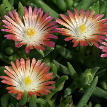 DELOSPERMA 'Jewel of Desert Ruby' ®