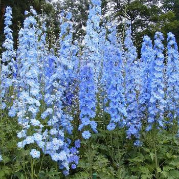 DELPHINIUM 'Summer Skies' (Pacific Giant Group)
