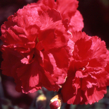 DIANTHUS 'David' (Plumarius Group)